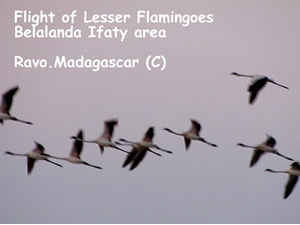 Madagascar for Birdwatching passionate people - Birds of Madagascar