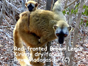 Red-fronted brown lemurs at Kirindy forest, in the west part of Madagascar