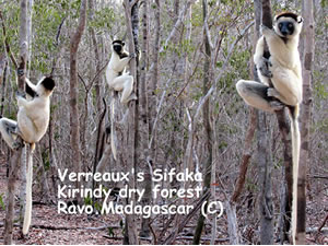 Verreaux's Sifaka lemurs at Kirindy forest, in the west part of Madagascar