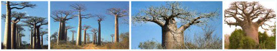 Madagascar, Baobabs Avenue, Ravo.Madagascar, Trust, Christian thought