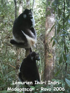 lemur of Madagascar, picture of Ravo.Madagascar