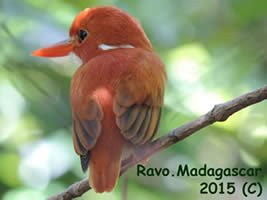 Madagascar Andasibe and Mantadia National Park for Birdwatching passionate people