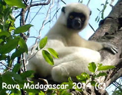 Lemurs of Madagascar, the Sifaka lemur, Ravo.Madagascar pictures